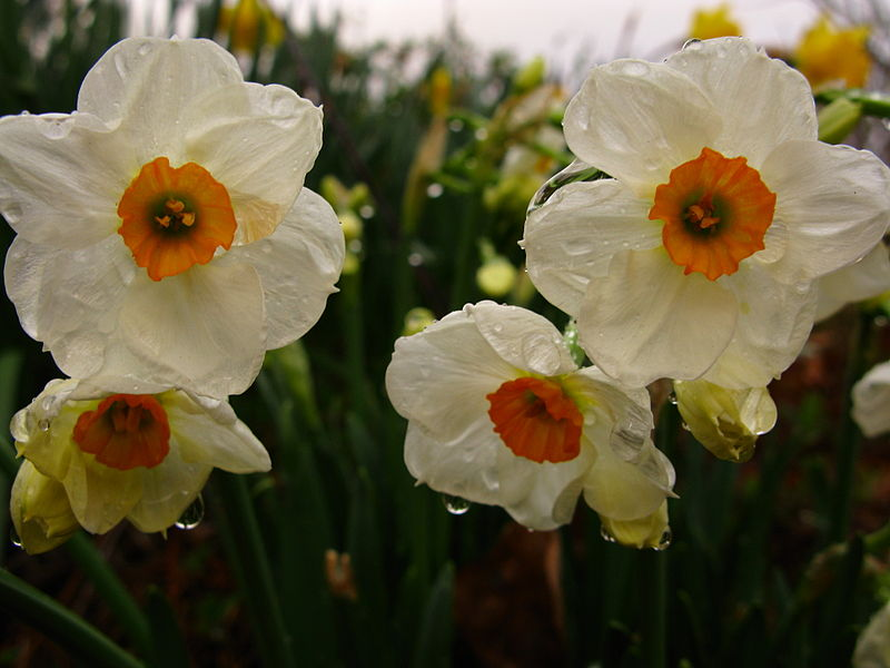 800px-Daffodils-close-macro-orange-white_-_West_Virginia_-_ForestWander